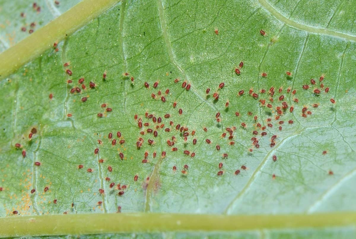 Effective control of the red spider mite