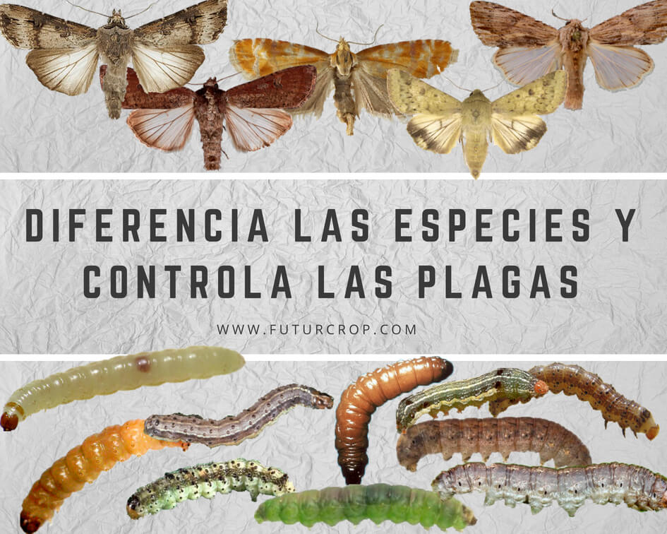 Identification of lepidopteran larvae of agricultural importance