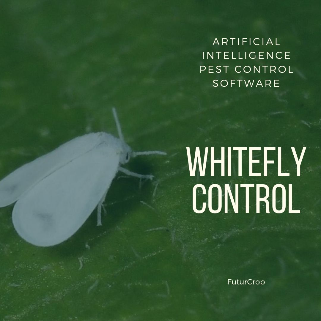 Measures to control whiteflies